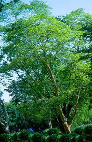 Амарантовое дерево в духах