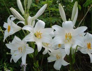 Белая лилия в духах
