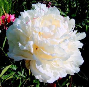 Белый пион в духах L'AMBRE
