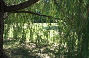 Кашемировое дерево в духах L'AMBRE