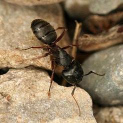 Лекарство из муравьев
