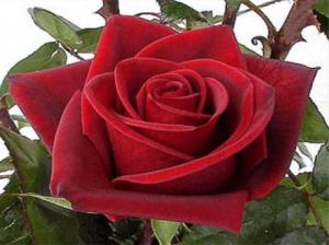 Роза в духах  L'AMBRE