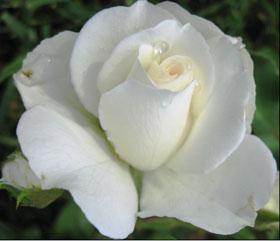 Роза  в духах L'AMBRE № 12