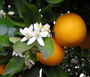 Цветок апельсина в духах