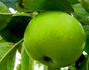 Зеленое яблоко в духах