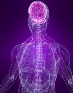 сложная нервная система человека