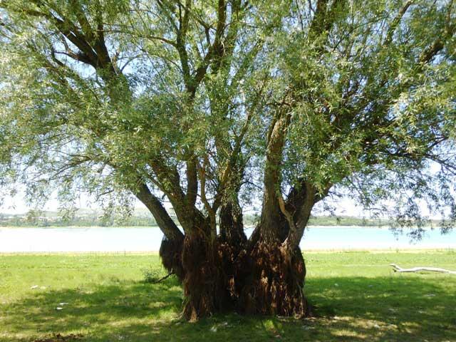 Дерево с водорослями на корнях стояло раньше в воде