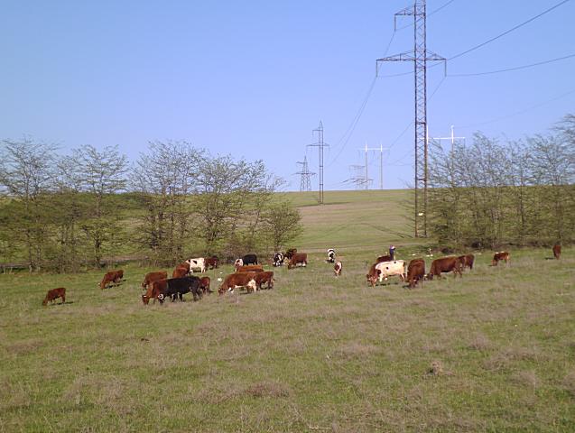 На полях пасут коров.Для коров настоящее раздолье