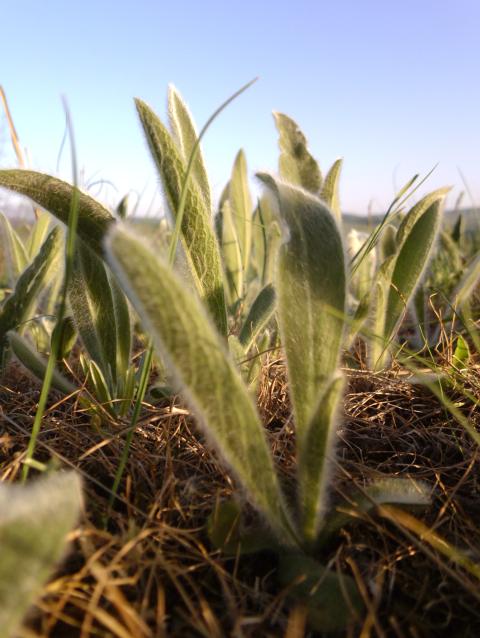 Растения на поле похожи на пушистые ушки зайчика