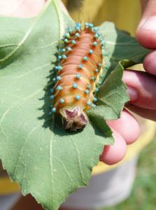 Съедобные насекомые.Гусеница Павлиноглазки питательная пища