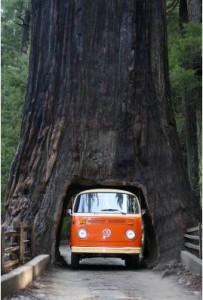 Чудесно созданы.Мамонтовое дерево живет 3000 лет