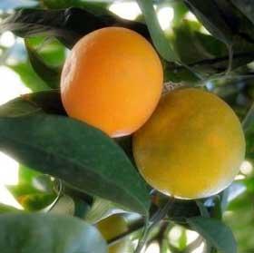 Апельсин- бергамот в духах L'AMBRE №14
