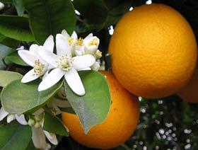 Цветок апельсина в духах L'AMBRE  №15